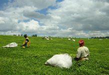 Teapickers Near Kericho