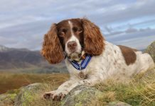 Max the Miracle Dog, a 13-year-old springer spaniel, wearing his medal. Photograph: Stuart Holmes/PDSA/PA