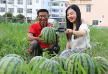 Xu Xuefan, a villager in Fengxin county, east China's Jiangxi province, promotes local watermelons together with a volunteer, who is also a member of the Communist Party of China (CPC), via live-streaming, June 4, 2020. (Photo by Deng Jiangang/People's Daily Online)