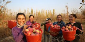 Farmers from Qapqal Xibe autonomous county, northwest China's Xinjiang Uygur autonomous region, pick apples after a bumper harvest, Oct. 22, 2020. (Photo by Hua Yanming/People's Daily Online)