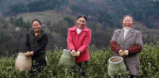 Local tea farmers pick tea at Shuangshi village, Chongqing Municipality in southwest China on March 11. The industry has been helping lift local residents out of poverty. Photo by Yang Min/People's Daily Online