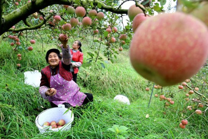 Farmers in Weining County, Bijie, southwest China's Guizhou Province pick apples in an orchard, Oct. 19, 2020. (Photo by Chen Wushuai/People's Daily Online)