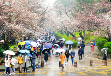 Photo taken on March 5, 2021, shows beautiful cherry blossoms in the campus of Wuhan University in Wuhan, capital of central China's Hubei province. (Photo by Huang Min/People's Daily Online)