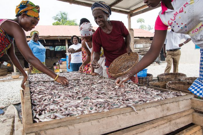 fish processors arranging fish on oven trays for smoking