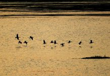 Photo taken on Nov. 20, 2020, shows mallards and other wild birds hovering above the section of Yangtze River in Caoxi village, Luzhou city, southwest China's Sichuan province. (Photo by Mu Ke/People's Daily Online)