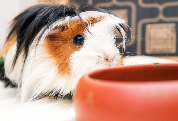 FILED - Guinea pigs can also be kept indoors without any problems. But it's important to provide a spacious enclosure with places for them to hide. Photo: Andrea Warnecke/dpa