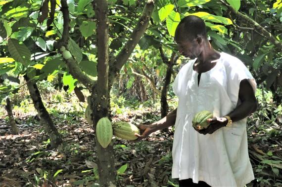 A Ghanaian cocoa farmer checks the cocoa trees on a plantation in Eastern Region, Ghana, on May 11, 2021.