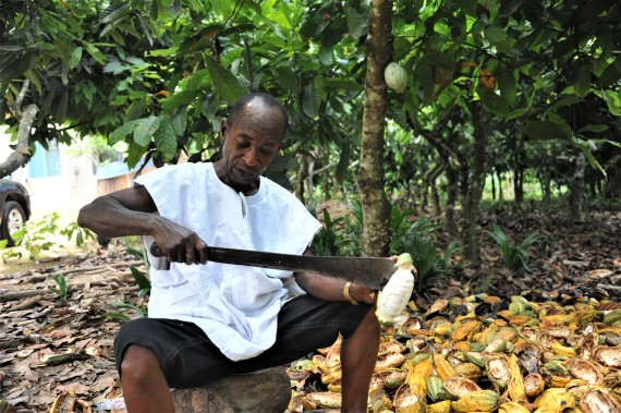 A Ghanaian cocoa farmer picks cocoa beans from a cocoa fruit with a machete on a plantation in Eastern Region, Ghana, on May 11, 2021.(Xinhua/Seth)