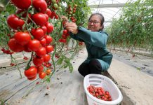 A woman picks tomatoes in an agricultural park in Deqing county, Huzhou, east China's Zhejiang province, May 8, 2021. (Photo by Wang Shucheng/People's Daily)