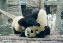 Photo taken on April 26, 2021, shows giant panda twin sisters at the Beijing Zoo. (Photo by Du Jianpo/People's Daily Online)