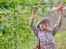 A farmer in Longtu village, Guandong township, Congjiang county, southwest China's Guizhou province, fixes branches of passion fruit trees at a planting base, July 22, 2021. (Photo by Lu Zhongnan/People's Daily Online)