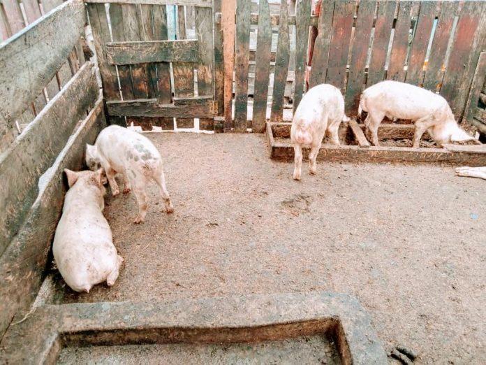 Health Swine Fever