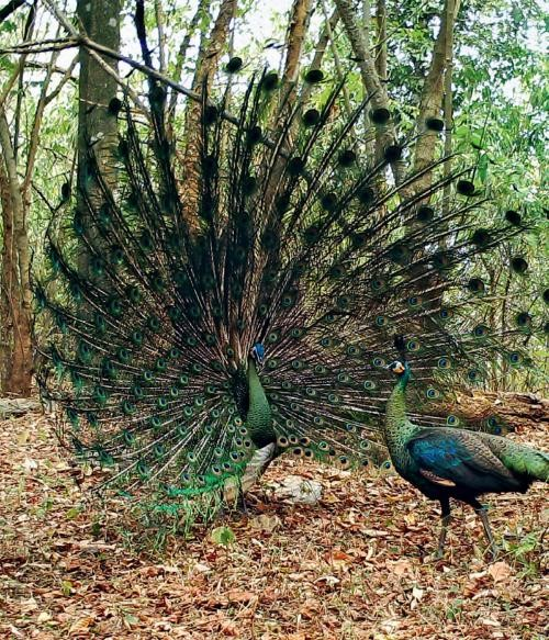 Green peafowl. (Photo/National Forestry and Grassland Administration of China)